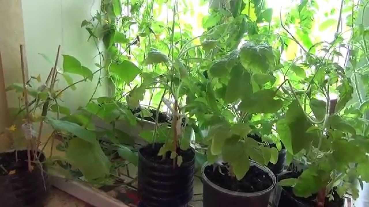 Огурец на подоконнике уход и выращивание 708