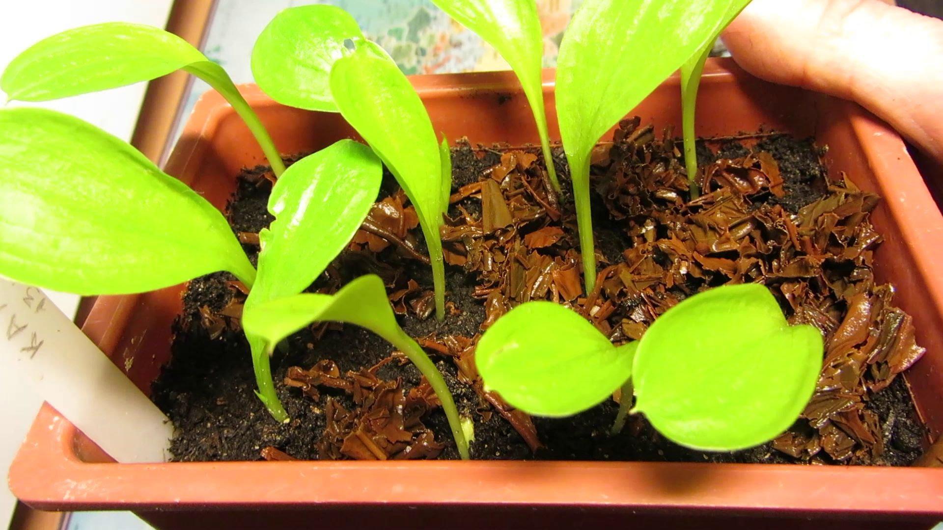 Выращивание каллы семенами в домашних условиях