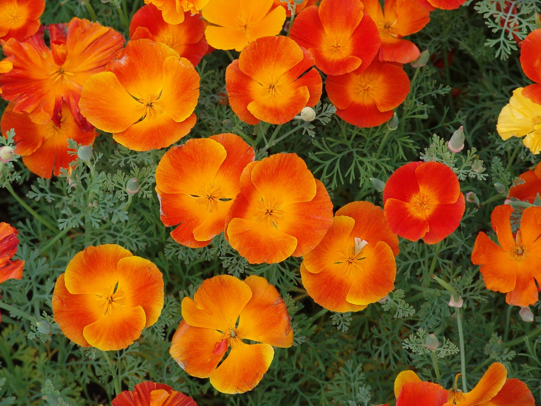 Эшшольция фото цветов 18 фотография