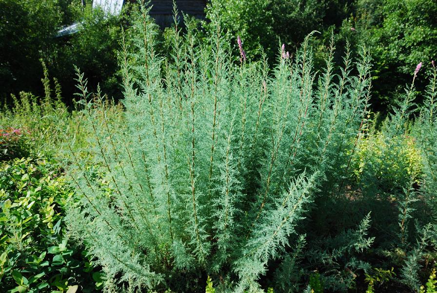 Выращивание мирикарии 6