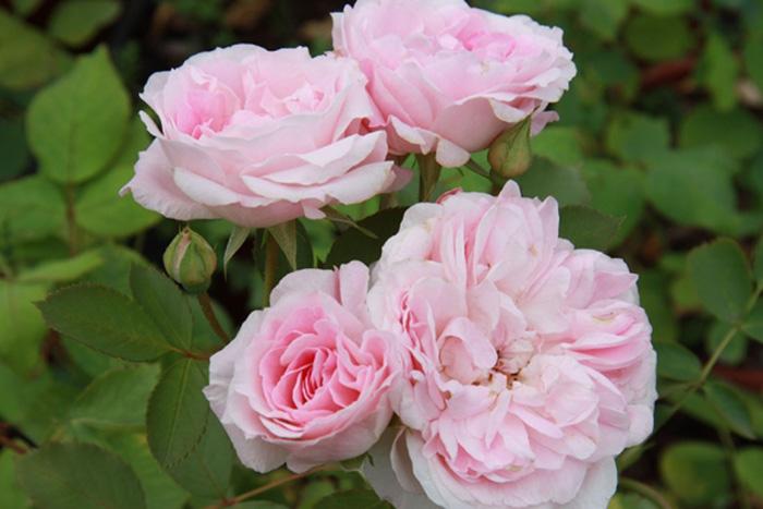 Розы открытая корневая система дешево купить донецкая обл.город горловка доставка цветов