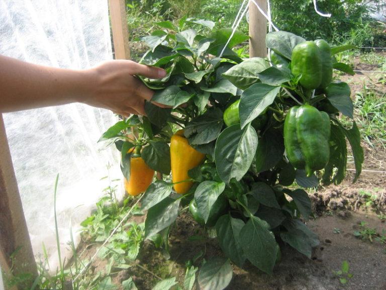 Перец болгарский выращивание и болезни 83