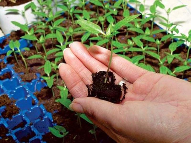 Выращивание черной смородины в саду 7