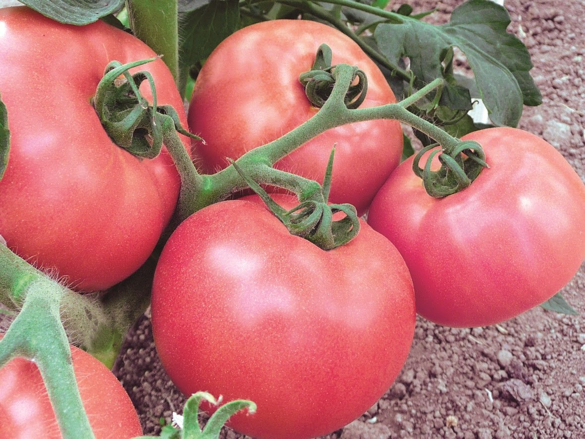 томат супер клуша отзывы фото