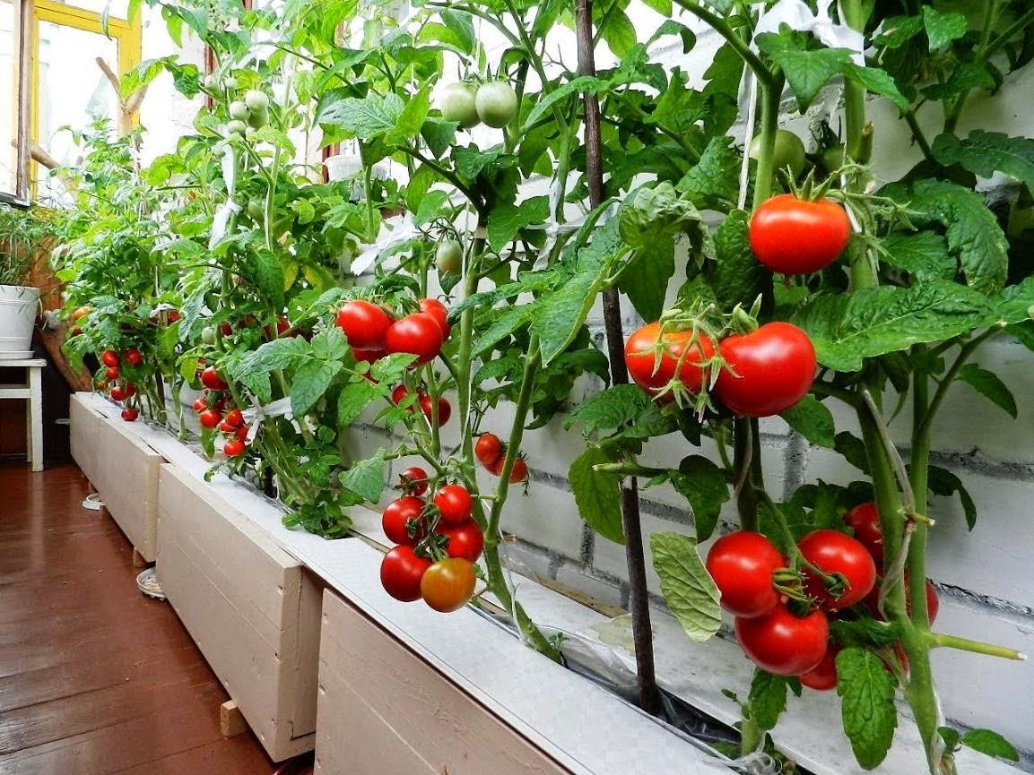 Что сделать чтобы зелёные помидоры покраснели? 9