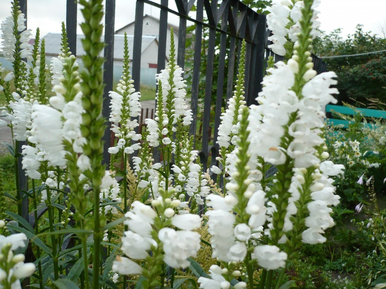Белый вербейник фото цветы