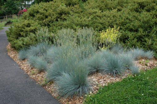 ornamental_grass_-_sea_urchin_thumb