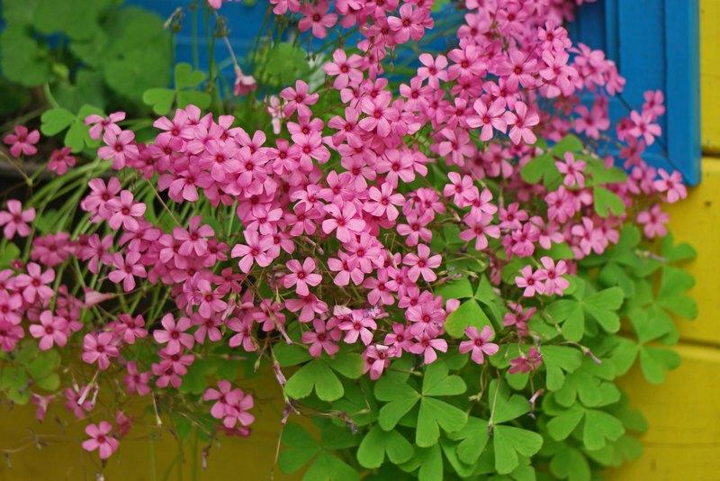 Цветы кислица садовая фото