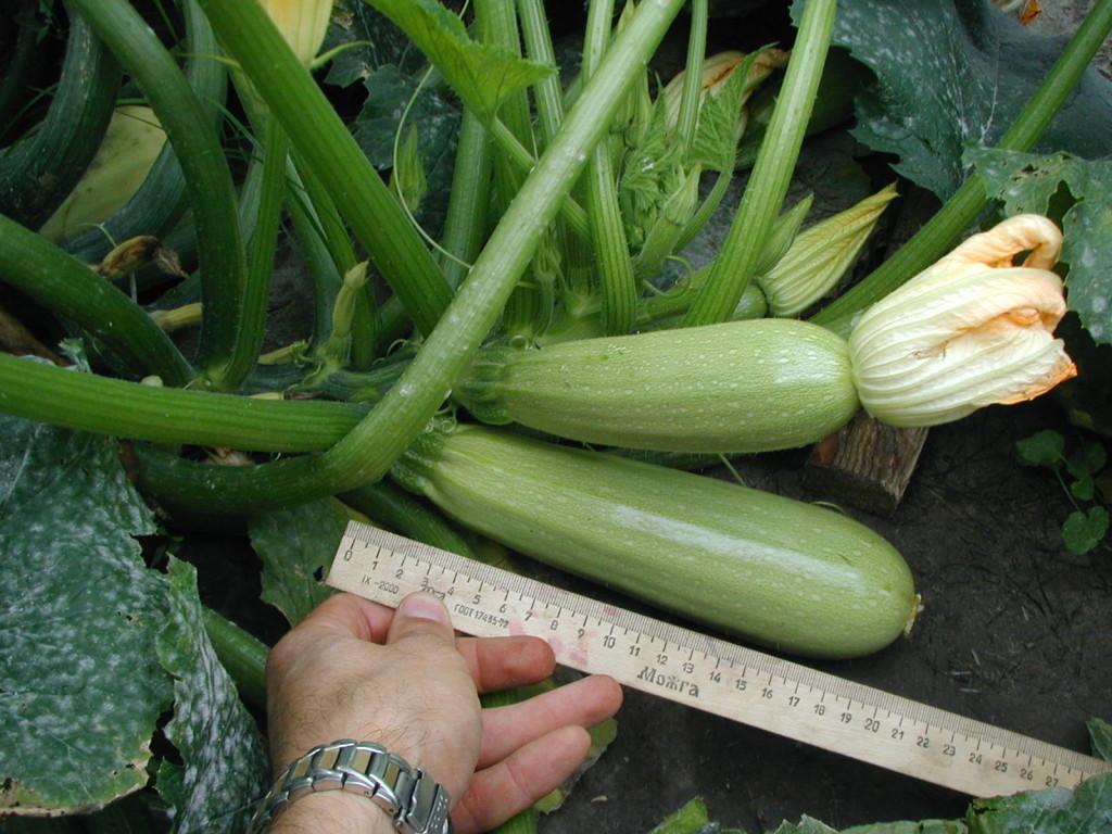 Выращивание кабачков и уход за ними 73