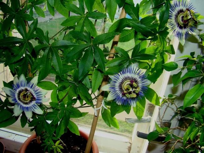 Цветы пассифлора посадка уход