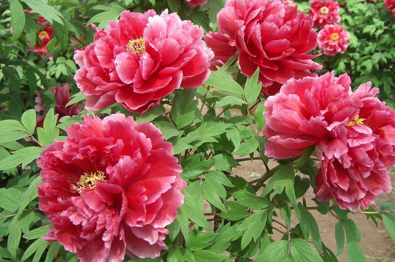 Фото пионы многолетние цветы