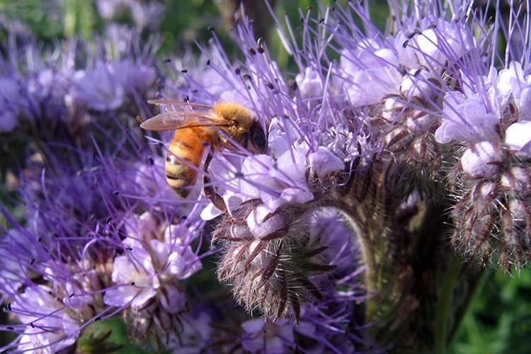 Цветы фацелия посадка и уход
