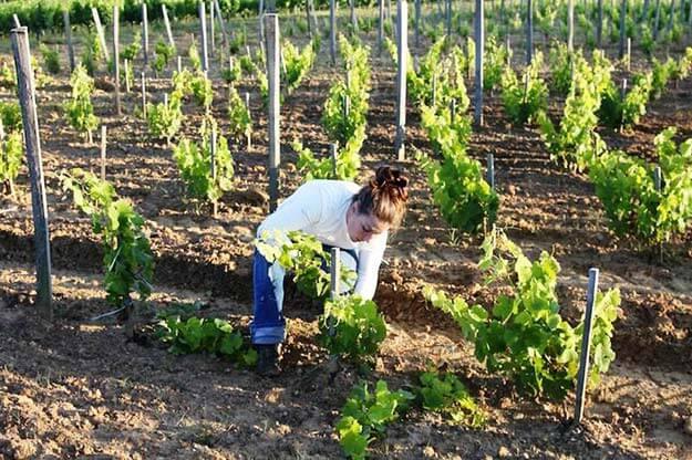Уход за виноградами в саду