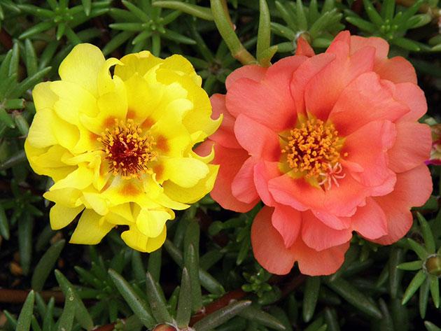 Фото цветов партулак