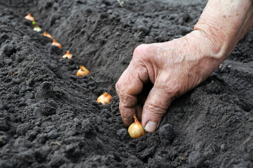 Выращивание репчатого лука 9