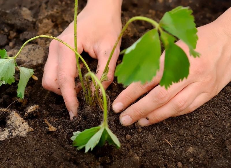Ремонтантная земляника выращивание и уход обрезка 5