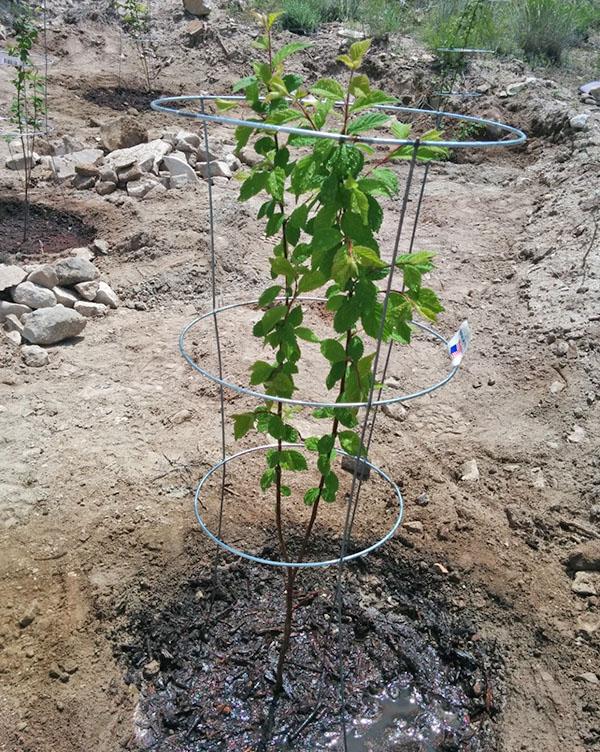 Посадка и выращивание вишни войлочной 84