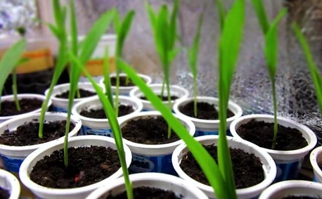 Как посадить рассаду кукурузы 10