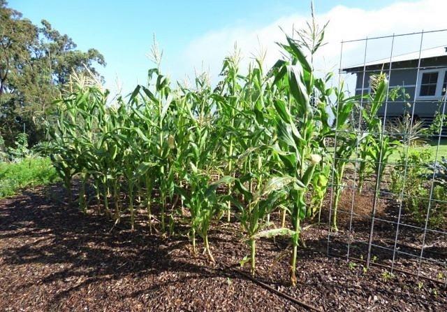 Кукуруза выращивание и уход в открытом 69