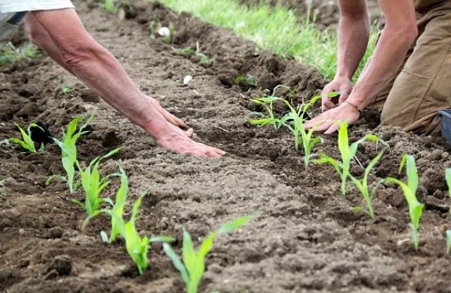 Как правильно сажать кукурузу фото 16