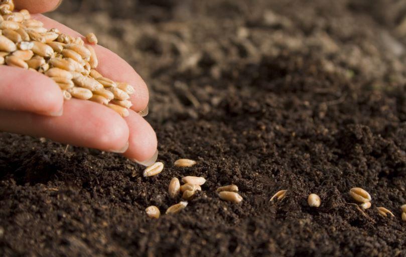 Посев семян фасоли