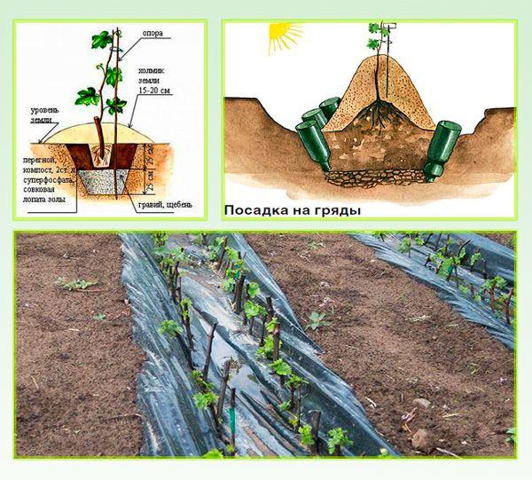 Когда весной можно сажать виноград 32