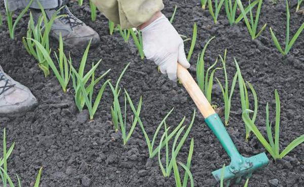Все о посадки и выращивании чеснока 780