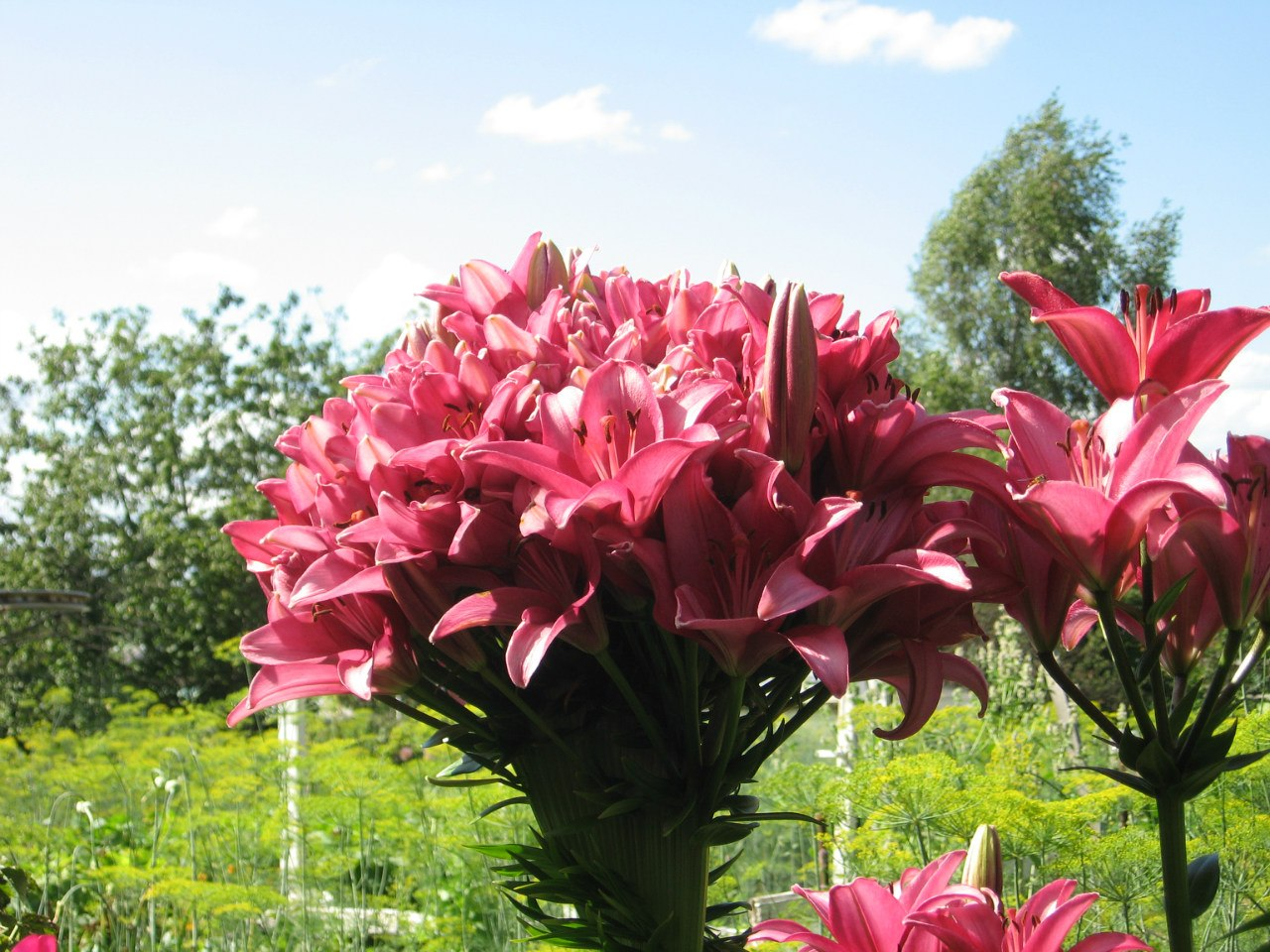 Лилии: посадка и уход в открытом грунте - выращиваем 47