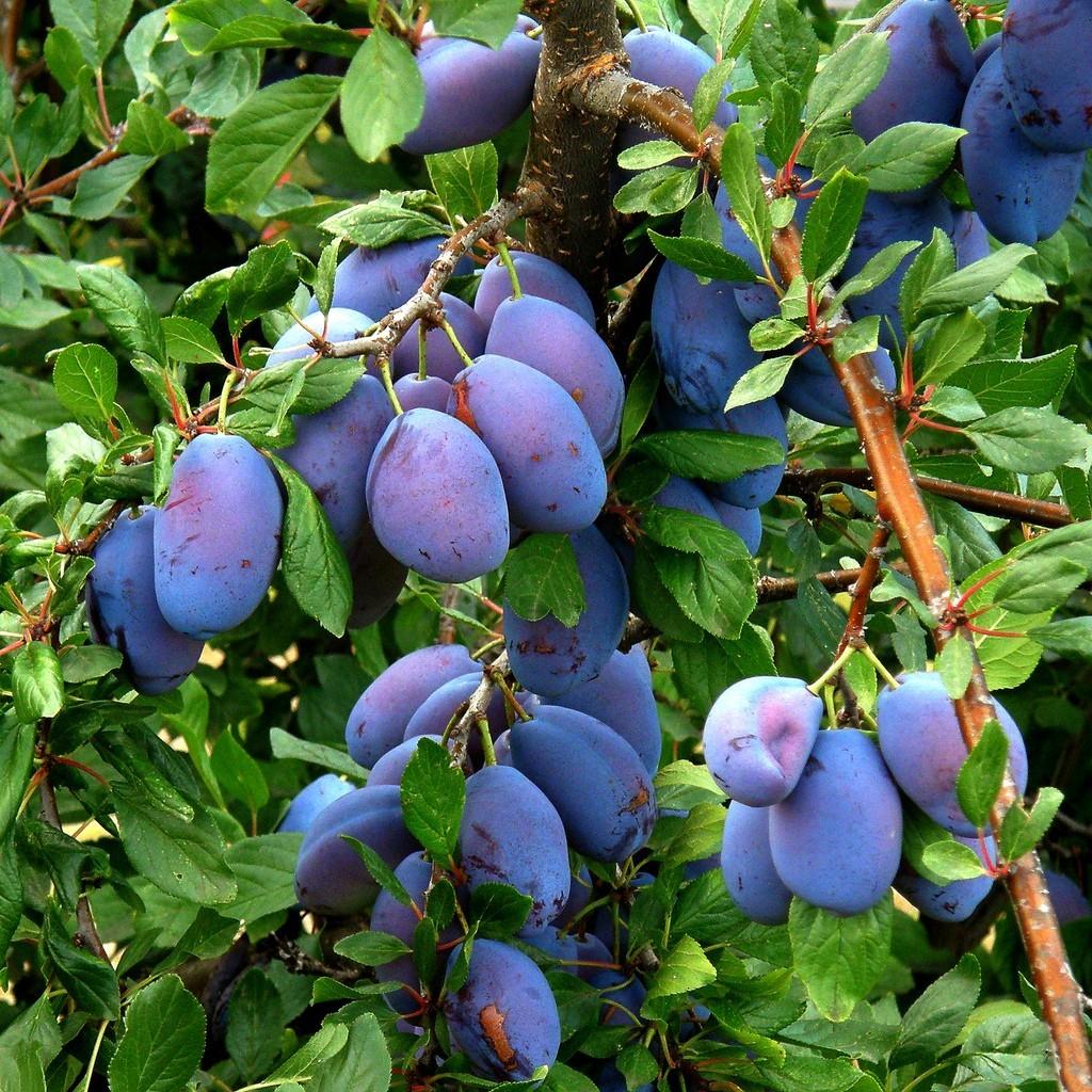 Колонновидные яблони на Урале, опыт выращивания — Сады Сибири