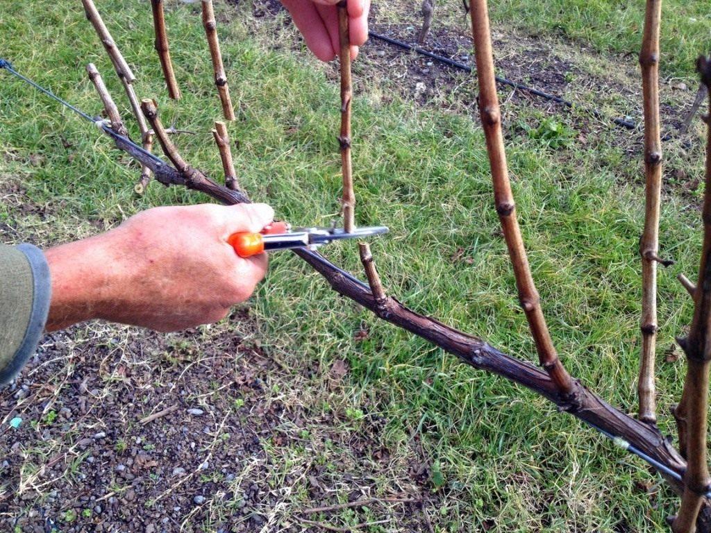 Выращивание винограда и обрезка 732