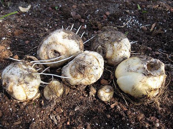 Размножение пионов. Основные способы. Мой сад, огород