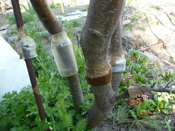 Ловчие пояса на плодовых деревьях своими руками