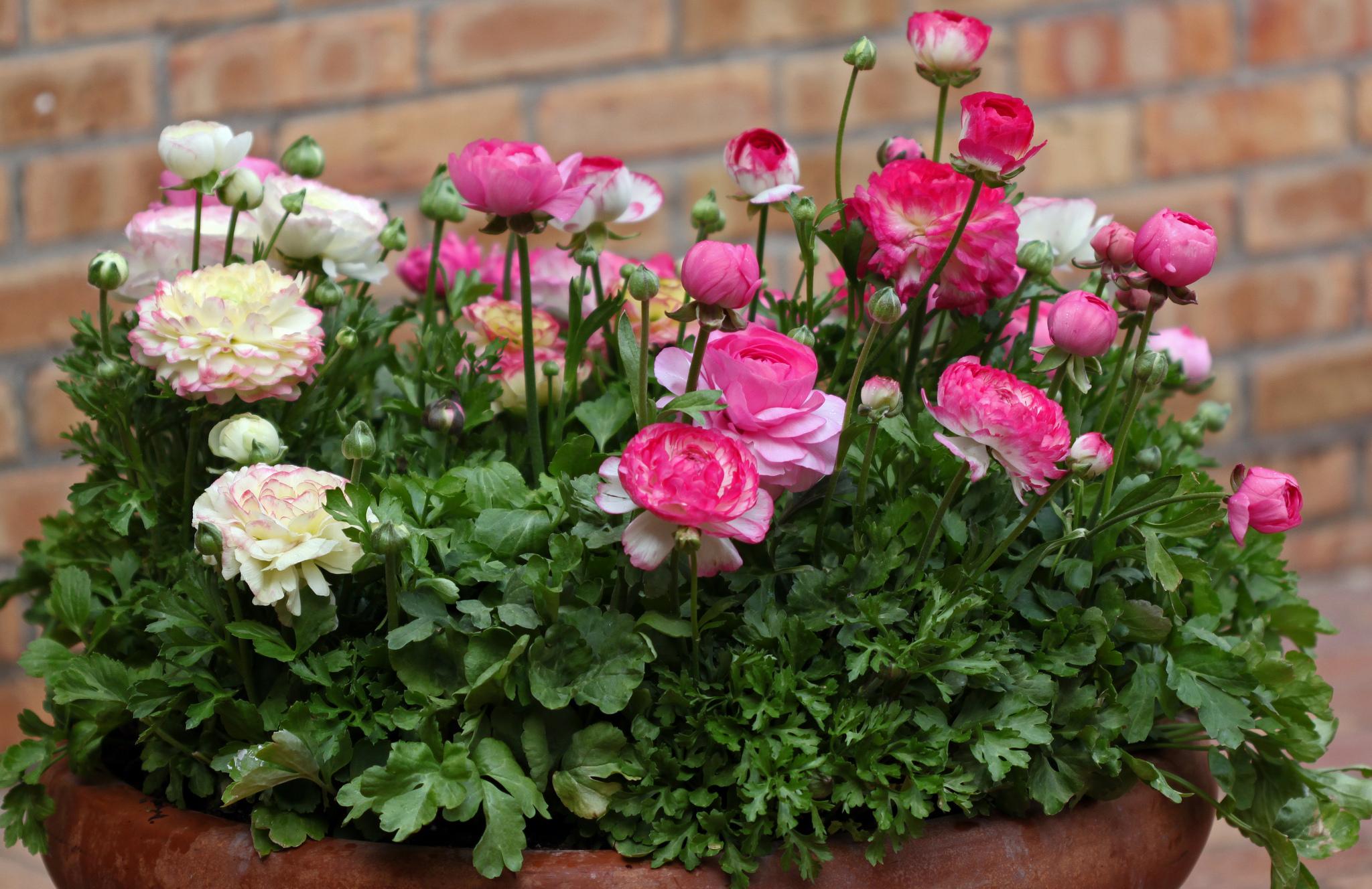 Цветок ранункулюс – уход и посадка фото ранункулюса, выращивание ранункулюс в домашних условиях