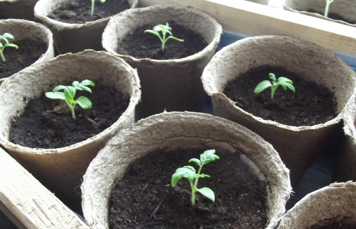 Когда сажать гортензию семенами на рассаду 34