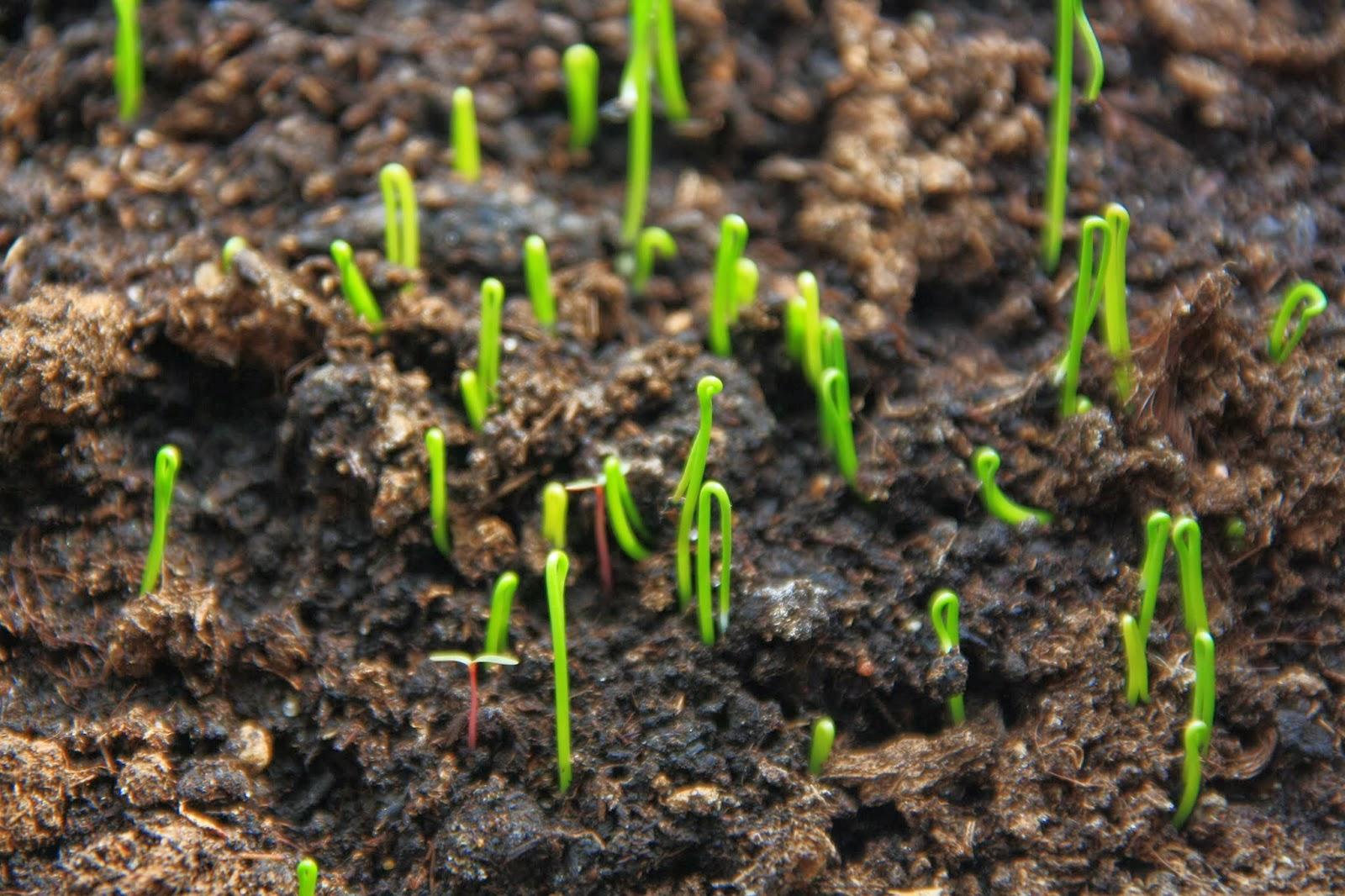 Как сажать картошку в семенах