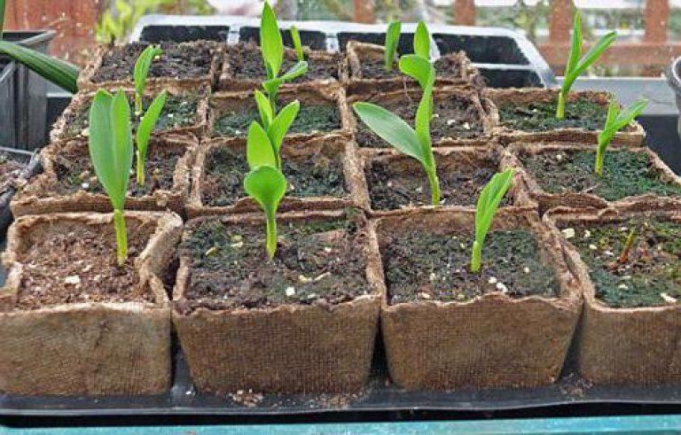 Как посадить рассаду кукурузы 85