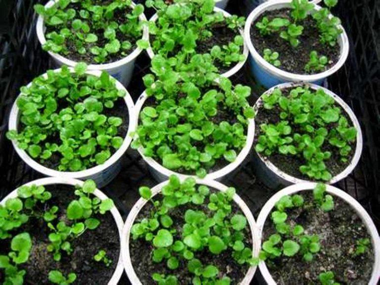 Лобелия ампельная посадка и уход когда сеять семена
