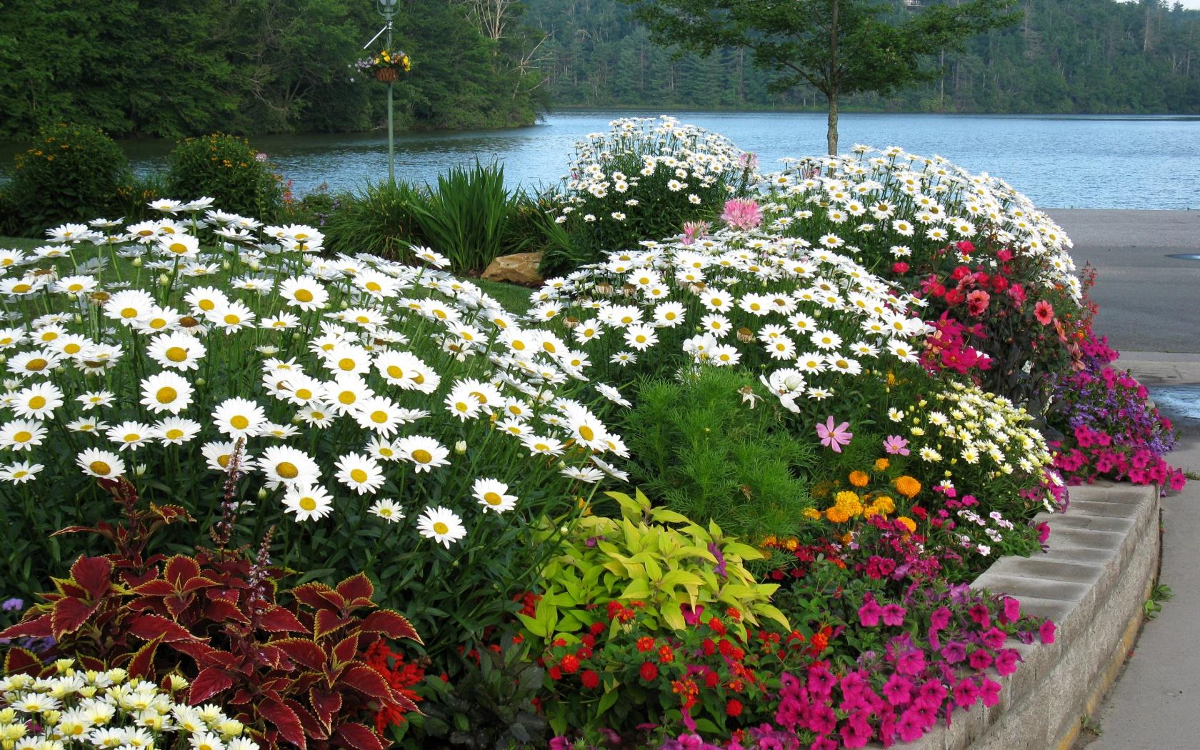 Ромашка садовая в ландшафтном дизайне