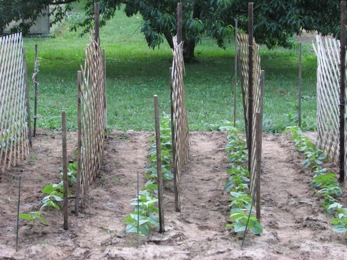 Выращивание огурцов на шпалер 234