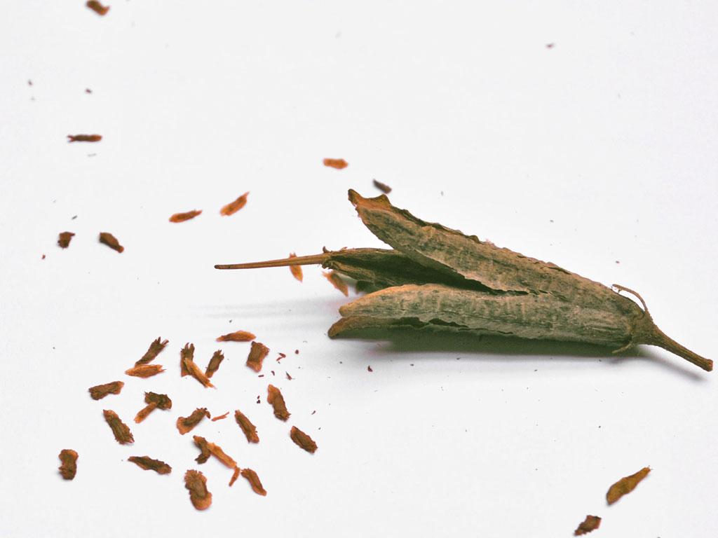 Как сажать азалию семенами 36