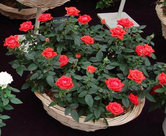 Если роза не цветет в домашних условиях 163