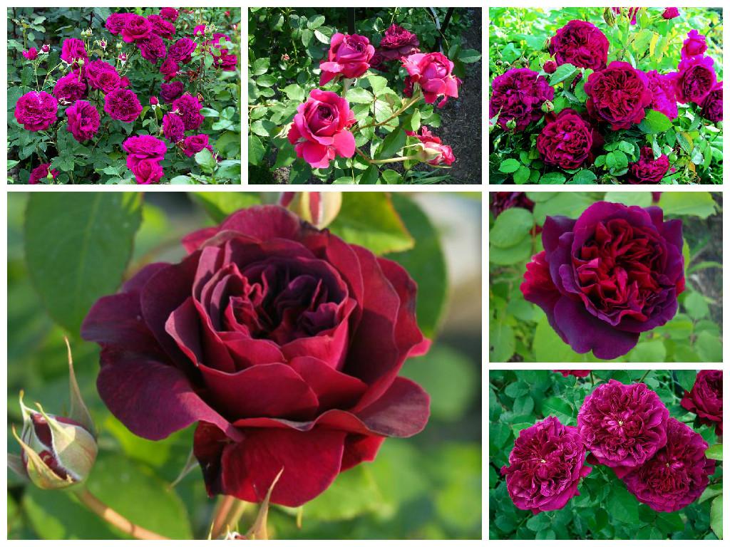 Сорт розы для урала