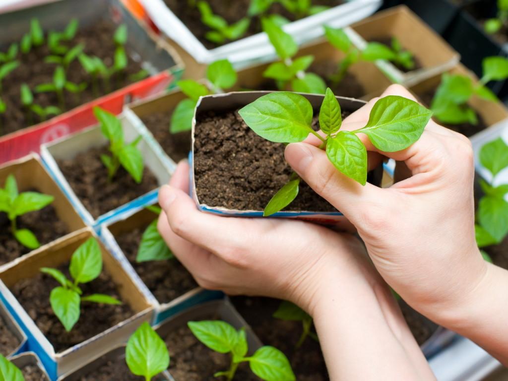 Можно ли выращивать рассаду 35