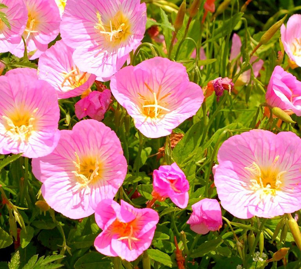 Выращивание энотера розовая 33
