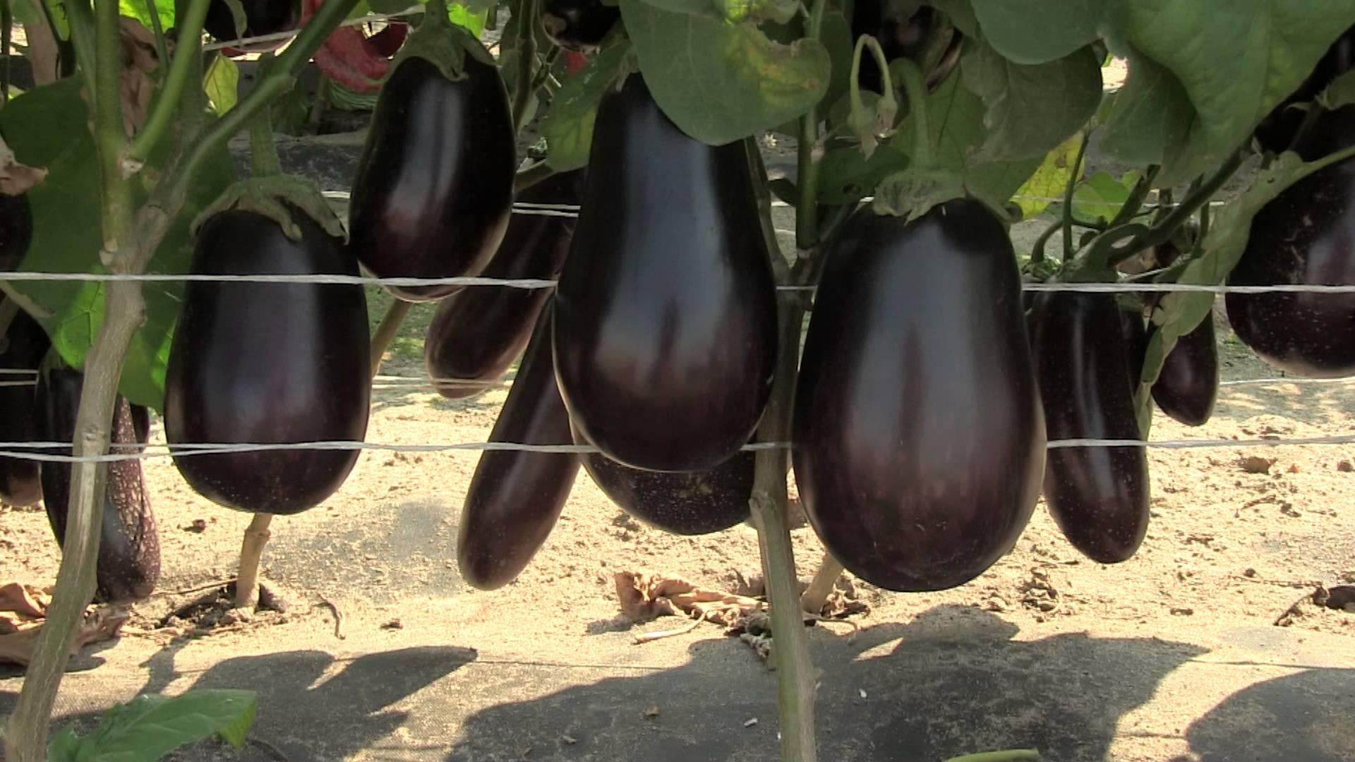 Выращивание арбузов. Рассада арбуза