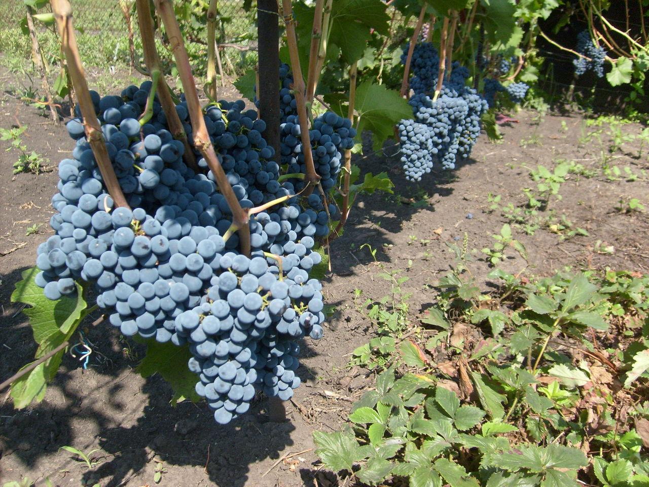 Какие сорта винограда лучше сажать на алтае 11