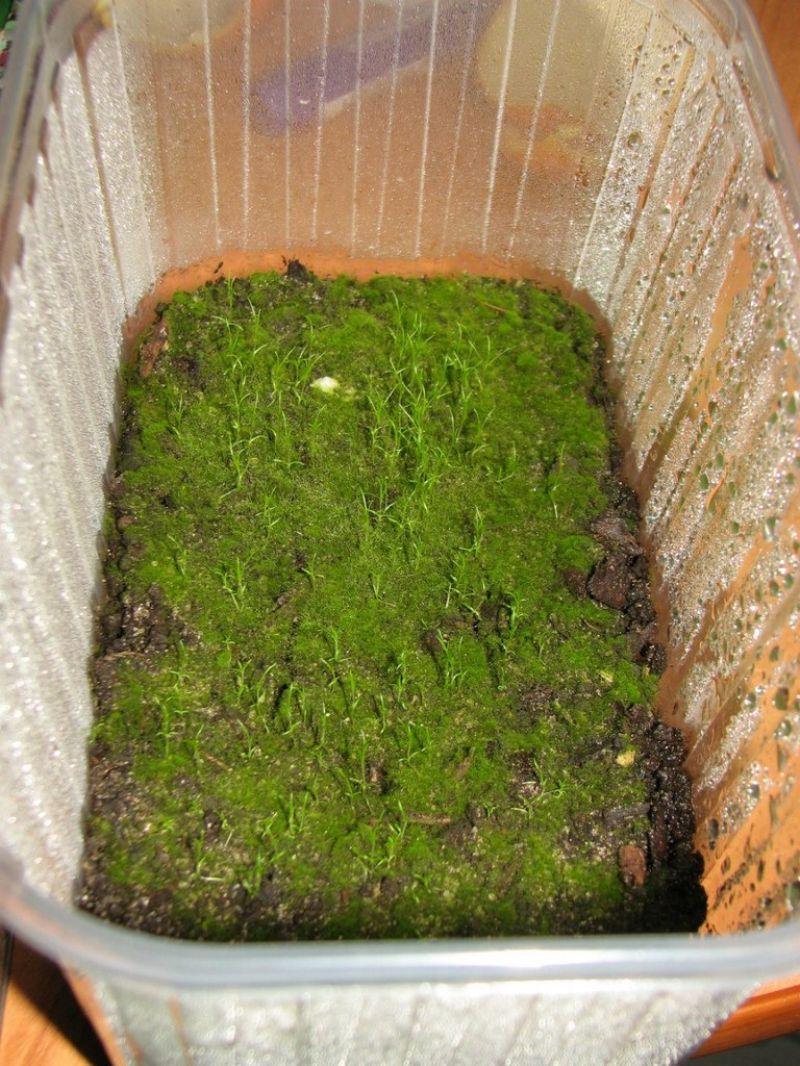 Мшанка шиловидная выращивание из семян в открытом грунте