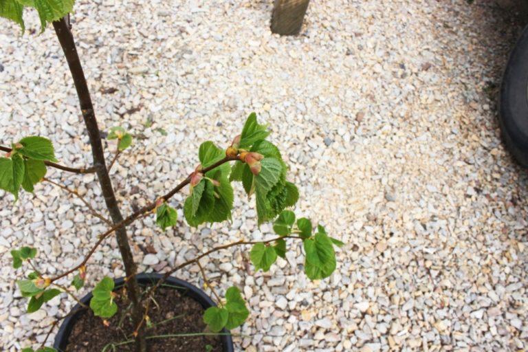 Советы по выращиванию липы : узнайте все о правильном уходе и посадке