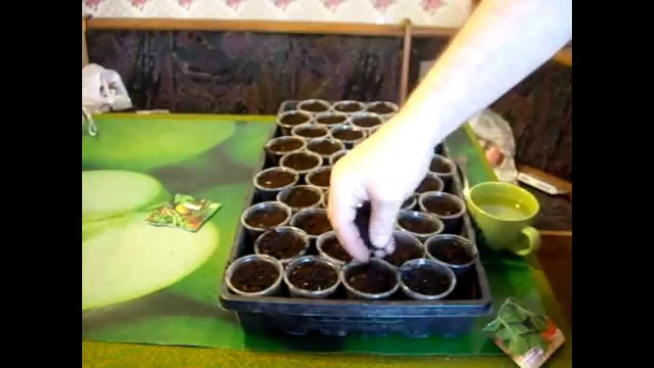 Как в домашних условиях выращивать руколу в