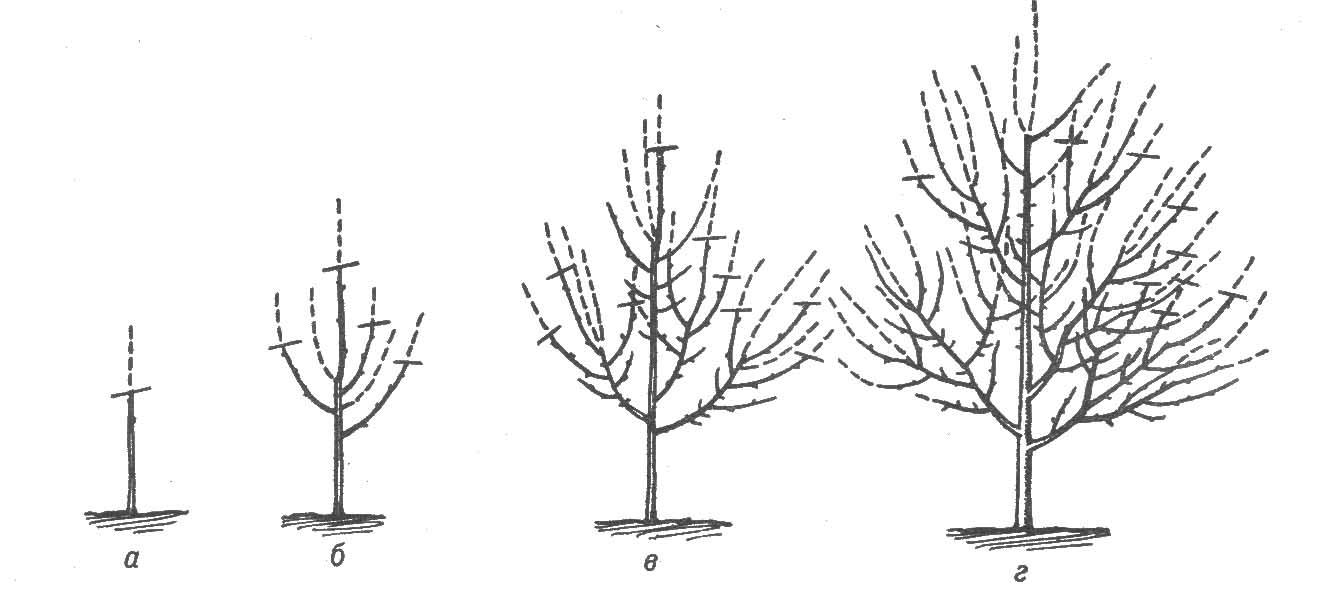 Обрезка груши весной